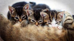 D'admirables chats et des explications sur leur ronronnement
