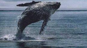 Il filme une baleine à bosse qui fait un saut hors de l'eau