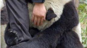 Des pandas sauvés en Chine après un fort séisme qui les a bouleversés