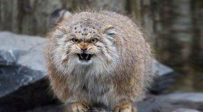 Le chat de Pallas, l'animal le plus beau, le plus drôle et le plus expressif au monde