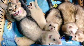 Des furets et un chaton, quelle belle famille des plus heureuses au monde!