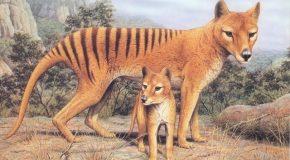 Le tigre de Tasmanie disparu en 1936 aperçu de nouveau en Australie
