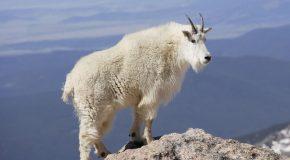 La chèvre des montagnes Rocheuses Nord-Américaines, un animal-alpiniste