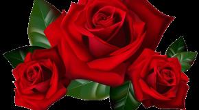 Florilège de clichés de roses, aux amoureux, mais aussi aux autres!
