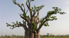 Les baobabs, des arbres incroyables, splendides et adorables à la fois!