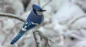 Le Geai bleu, l'oiseau le plus beau dans de magnifiques clichés
