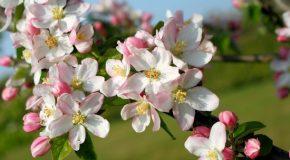 La beauté des fleurs des pommiers racontée par Simone Robert