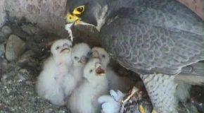 La naissance des faucons, des images toutes belles pour tous!