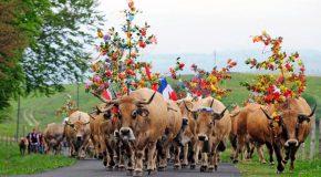 Migration du bétail à Aubrac en France, c'est la fête!
