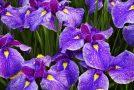 Beauté de l'iris, l'orchidée des pauvres pour les amoureux des fleurs