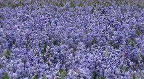 Les jacinthes, des fleurs aux couleurs chatoyantes et belles