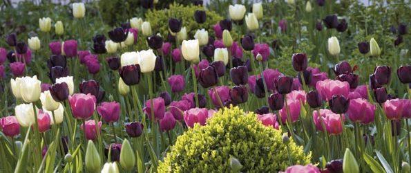 Les tulipes, des merveilles pour les fans de la nature!