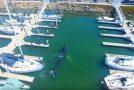 Une jolie baleine visite une marina et prend tout son temps