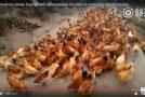 Un fermier en Chine, fait l'appel à manger à ses poules élevées en liberté.