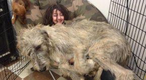 De grands chiens qui se croient encore bébés, trop craquant!