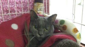 Shamo, la chatte de refuge qui a toujours l'air  énervée
