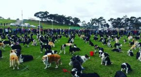 Nouveau record du monde du plus grand nombre de Border Collies ensemble