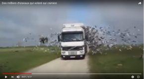 Scène très surprenante avec des milliers d'oiseaux dans un camion!