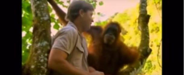 Une femelle Orang-outan présente son bébé à un ami