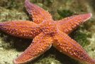 Une étoile de mer échouée sur le sable tente de rejoindre la mer
