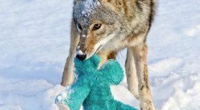 Un coyote joue avec une peluche comme un chien ou un enfant!