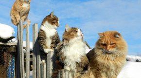 Des fermiers avec des chats de Sibérie comme gardiens