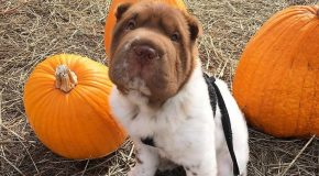 Un chien de race Shar-Pei incroyablement mignon en photo