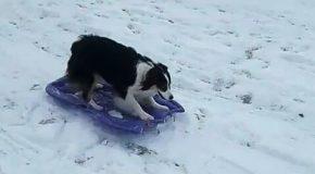 Un chien trop intelligent! Il fait de la luge sans personne pour l'aider!