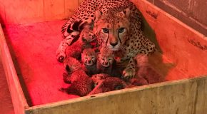 Huit bébés guépards, un record pour cette naissance dans un zoo