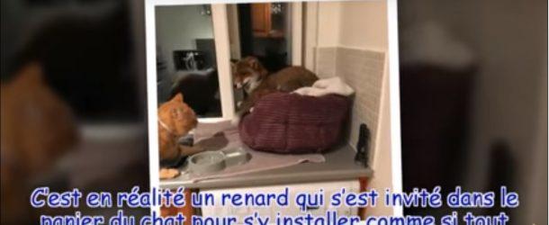 Un renard s'invite chez un chat, une grande surprise pour la maîtresse des lieux