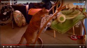 Comportements étranges de chats, ils imitent leurs humains!