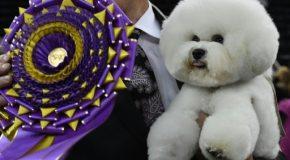 Flynn, le bichon vainqueur du concours canin de New-york
