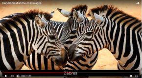 Animaux sauvages en image avec leur nom et une musique pour tous