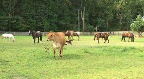 Une vache nommée Bobo qui vit comme un chien