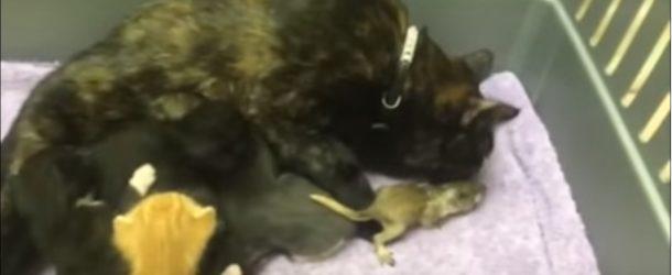 Un bébé écureuil dans une portée de chatons, c'est trop mignon!