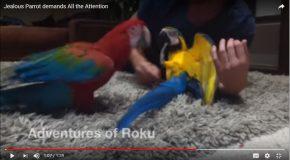 Un perroquet jaloux, c'est très amusant à voir!