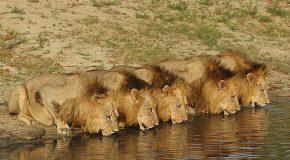 Photos de lions, c'est mignon, mais il ne faut pas les approcher!