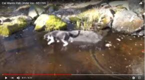 Un chat tente d'attraper des poissons sous une surface glacée
