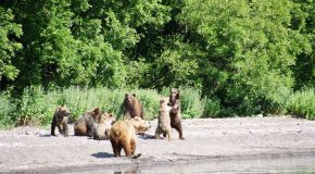 A la découverte de l'ours de Kamtchatka, une belle espèce à protéger!
