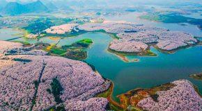 La Chine inondée par des fleurs de cerisiers qui font le bonheur des admirateurs!