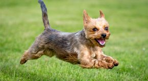 Le Yorkshire Terrier la plus belle race de chien!