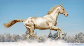 Découvrez « Le cheval doré »