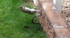 Cet animal défend ses petits à ses dépens