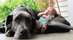 Quand les chiens protègent les bébés
