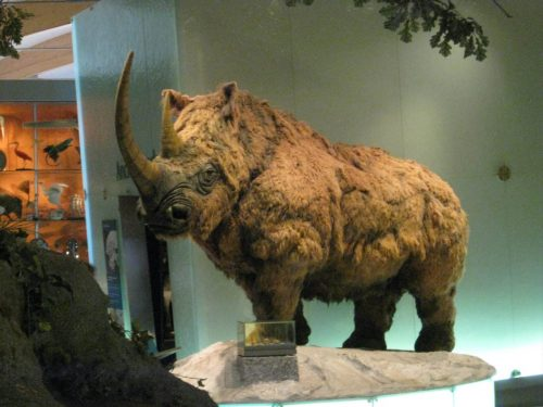 Woolly_Rhino_Weston_Park_Museum_2011-1600x1200
