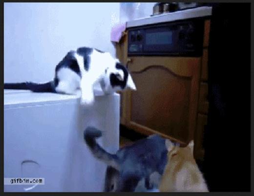 Ces chats sont vraiment très agiles, ils peuvent tout faire avec leur corps