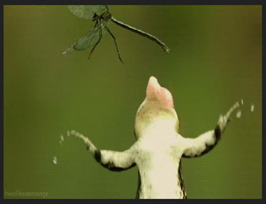 Quand une grenouille a faim, elle peut s'attaquer à n'importe quelle proie