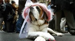 Quand les chiens se font déguiser  de force avec leurs maîtres, pour aller chercher des bonbons
