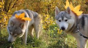 Découvrez les Husky Malamute, des chiens qui se montrent dans tous leurs états